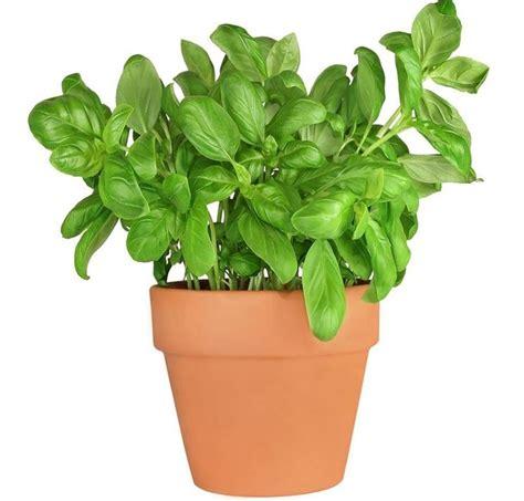 come si semina il basilico in vaso semina basilico aromatiche basilico semina