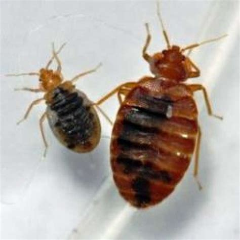 bed bug problem bed bugs continue to be a houston problem houston chronicle