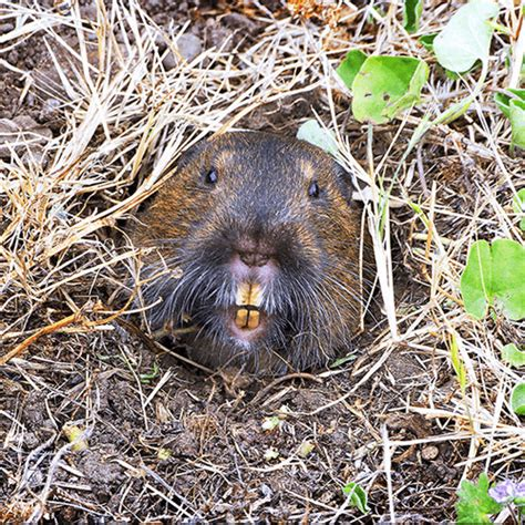 how to get rid of gophers in your backyard how to get rid of gophers how to get rid of stuff
