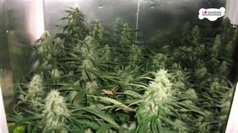 small indoor marijuana grow room nice setup youtube