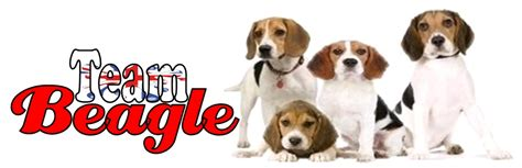 Do Beagle Puppies Shed by Beagle Dogs Advice You Can Trust Breeds Picture