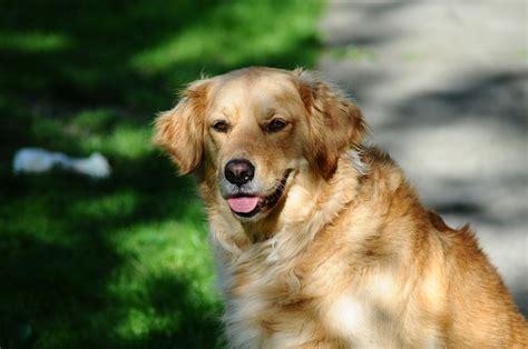 where do golden retrievers originate from golden retriever dogs and puppies breeds journal
