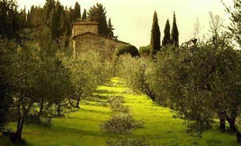 olive farm  italy tree farms italy tuscany italy