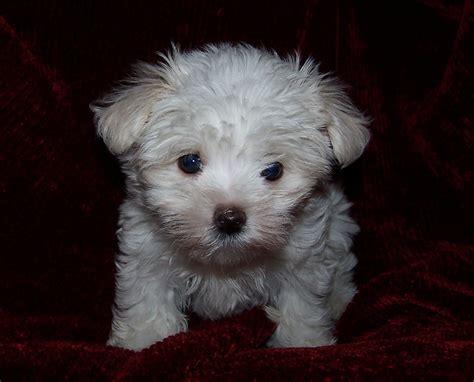 maltese puppy file maltese child jpg