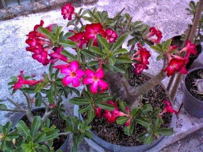 tahapan budidaya tanaman hias  prosedur penanaman
