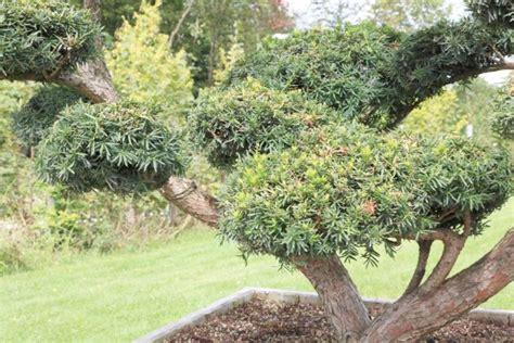 harlekinweide wann schneiden eibenhecke eibe taxus pflanzen pflege und schneiden