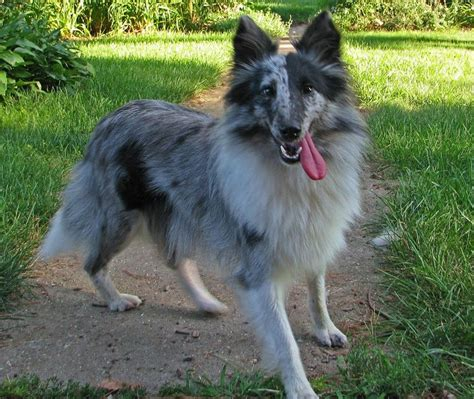 sheltie puppies for sale in ga 17 best images about i shelties