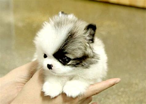 puppies to buy puppooly is a puppy find more http www imaddictedtoyou