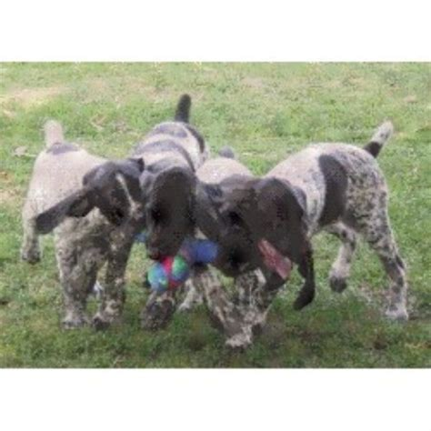 german shorthaired pointer puppies california german shorthaired pointer puppies for adoption in california