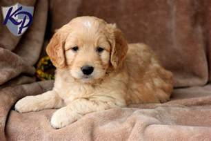 mini doodle puppies mini goldendoodle
