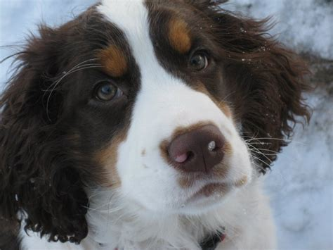 springer spaniel puppies oregon oregon springer spaniel bend oregon springer puppies
