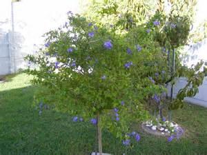 skyflower golden dewdrops duranta duranta repens