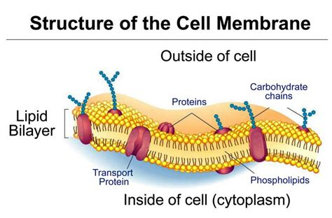 4 proteins in cell membrane tj schematic diagram of typical membrane proteins in a