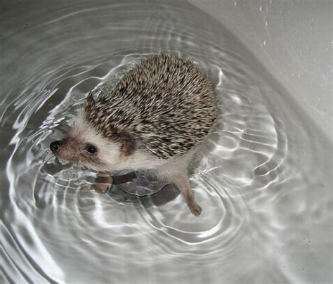 hedgehog bathtub hedgehogs taking bath 30 pics