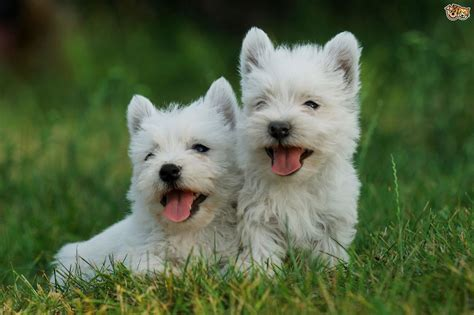 westie breed west highland terrier breed information buying advice photos and facts pets4homes