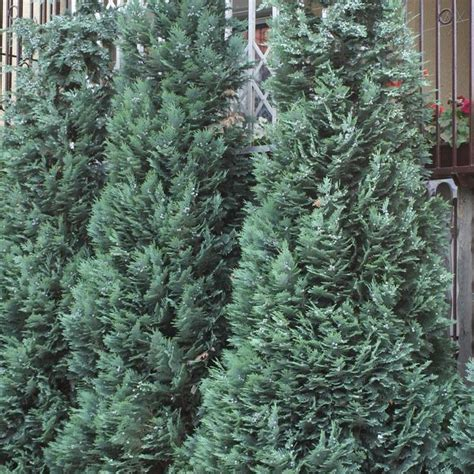 Decorative Evergreen Trees chamaecyparis lawsoniana alumii buy lawsons cypress