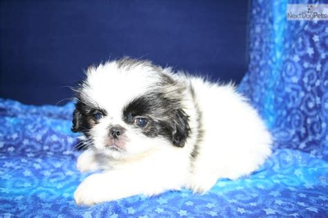 pekingese puppies for sale near me pekingese puppy for sale near city iowa 95781b53 cac1