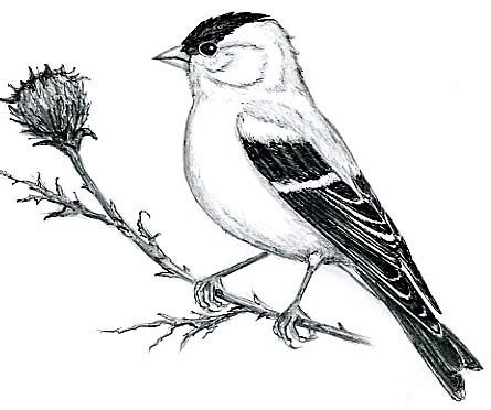 yellow finch coloring page how to draw yellow finch