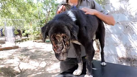 maggots in dogs this s was eaten by maggots see the transformation now