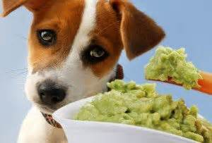 can dogs eat avocado exercising your setter animal hub