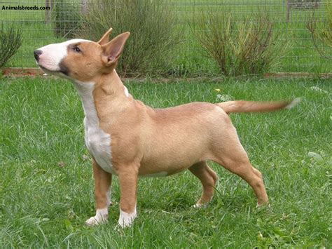 Bull Terrier Shedding by Miniature Bull Terrier Pictures Information