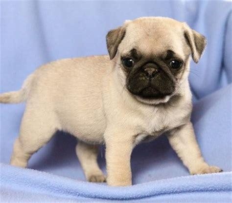 perros pug bebes pug beb 233 precio imagui