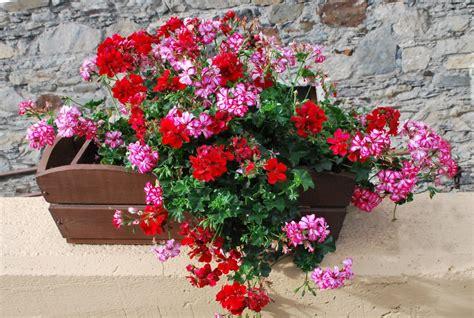 imagenes de flores llamadas pensamientos fotos de flores flores de geranios de varios colores