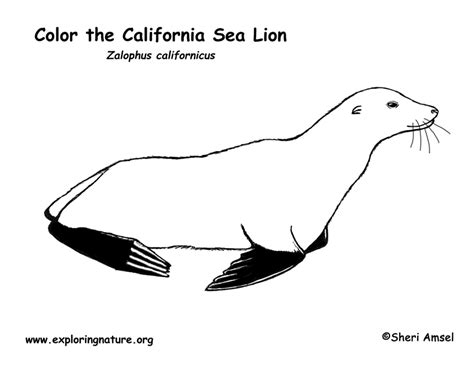 coloring pages sea lions sea lion california coloring page