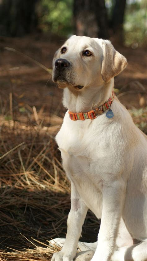 puppy yellow lab the 25 best labrador ideas on labrador