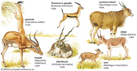 names of different types of individual by african artiodactyl mammal britannica com