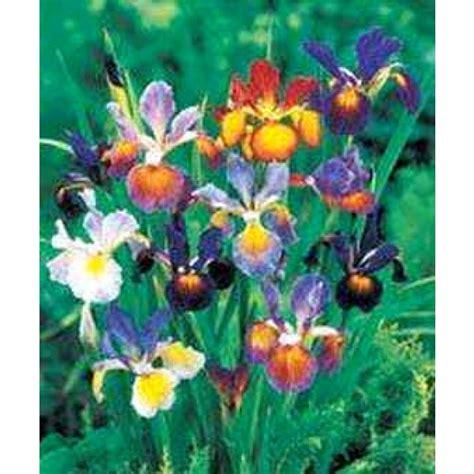 Butterfly Iris Blue T1310 3 iris spuria hybrids mix seeds butterfly iris seeds