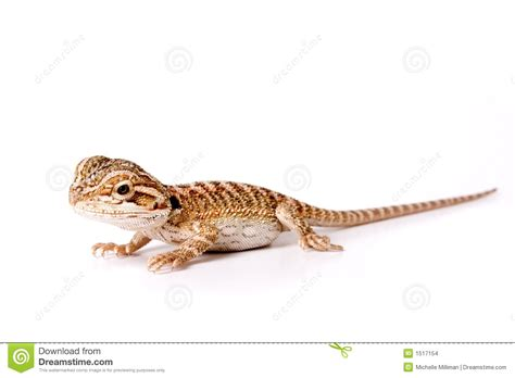 how often do bearded dragons go to the bathroom baby bearded dragon amazing wallpapers