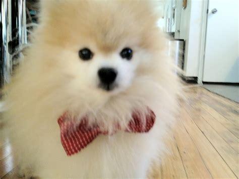 pomeranian with bow pomeranian bow tie doggies