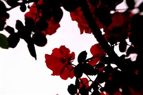 theme black rose red and black rose wallpapers wallpapersafari