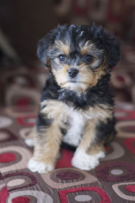 yorkie poo colors yorkie poo chris and i want one of these for our next but probably won t be for