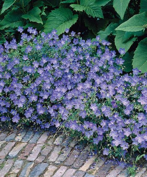 blue fusion everblooming geranium brilliant blue flowers distinguish these hardy geraniums that