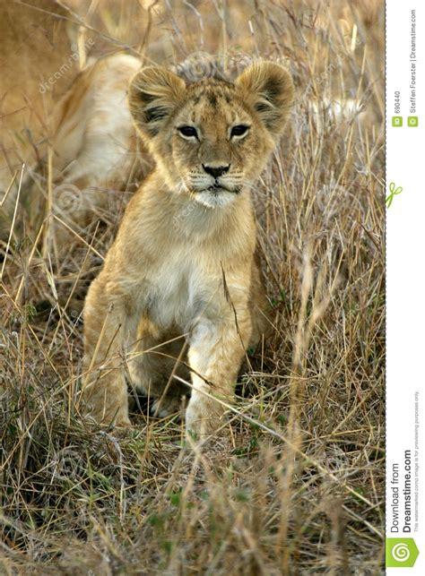 de welp van de leeuw stock foto afbeelding bestaande uit