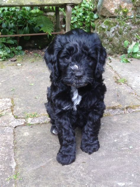 black cockapoo puppies f1 black cockapoo puppy dna pra clear bakewell derbyshire pets4homes