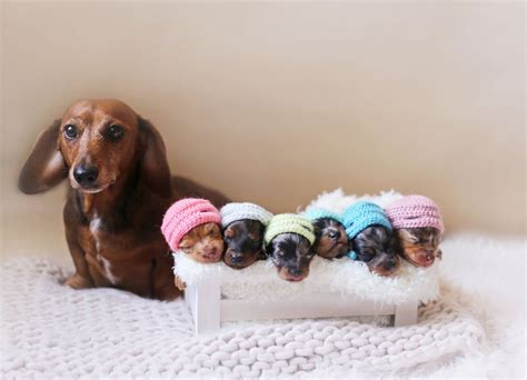 sausage dogs proud sausage poses with newborn puppies for an adorable maternity photoshoot