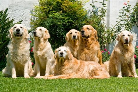 golden retrievers history golden retriever golden retriever pet insurance info