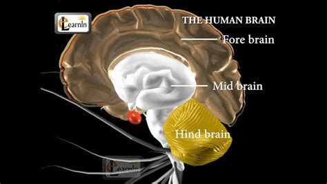 human brain   parts biology youtube