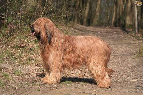 briard dogs briard breed information buying advice photos and facts pets4homes