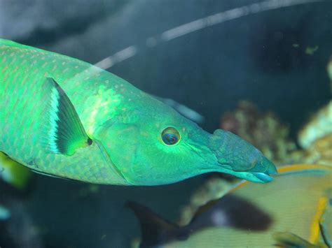 green bird wrasse green bird wrasse video