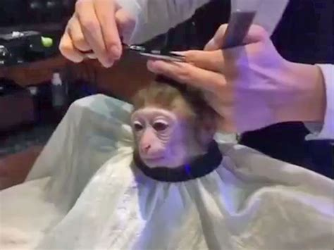Monkey Getting Haircut Meme monkey haircut meme can be photoshopped into anything