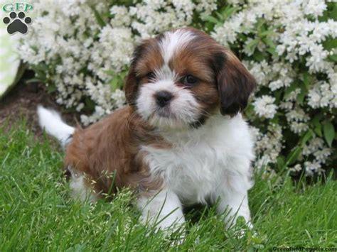 cava tzu puppies pin fluffy puppies on