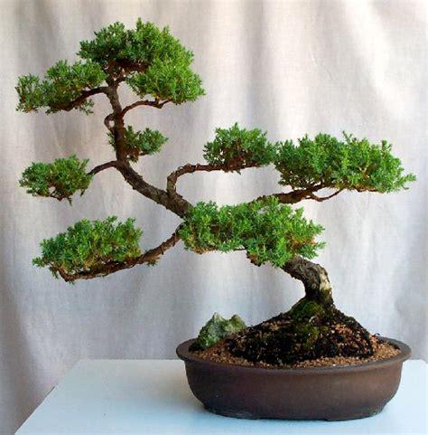 juniperus chinensis chinese juniper great western