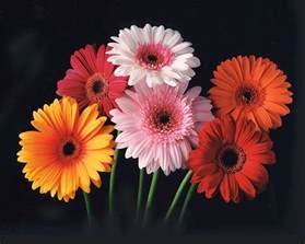 flower show gerbera daisy color chart of 2012