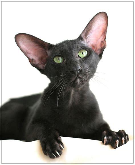 shorthair cat shorthair cat cats