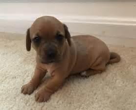 dachshund puppies for sale cincinnati ohio view ad dachshund mix for adoption ohio cincinnati usa