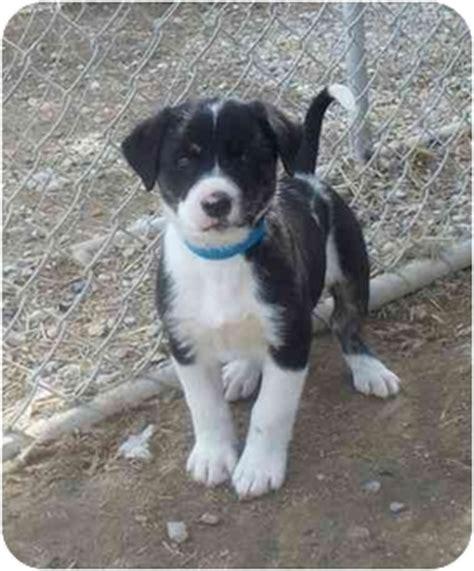 border collie rottweiler mix puppies cyprus adopted puppy 223 08 cold lake ab border collie rottweiler mix